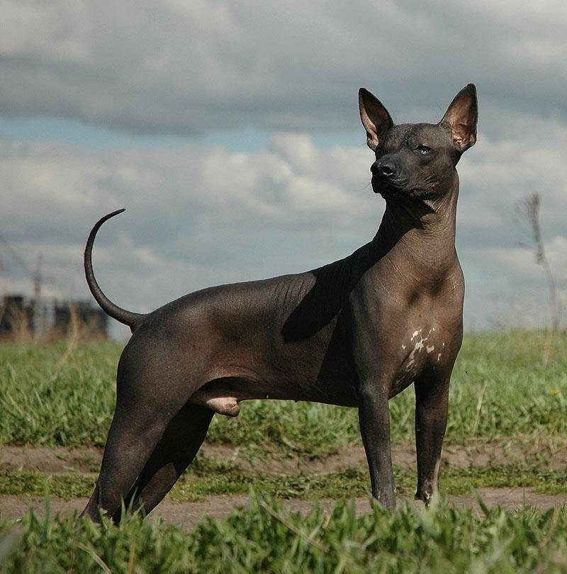Голая Собака